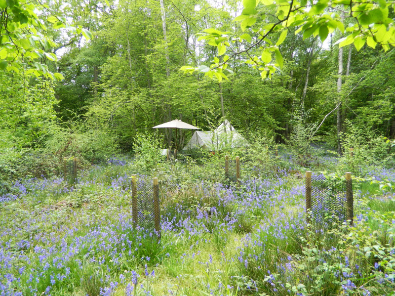 Bell tent and bluebells